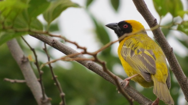 Weaver bird in tree bright yellow plumage in Johannesburg South Africa