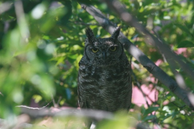 Spotted Eagle owl in tree in Johannesburg South Africa by www.expatorama.com