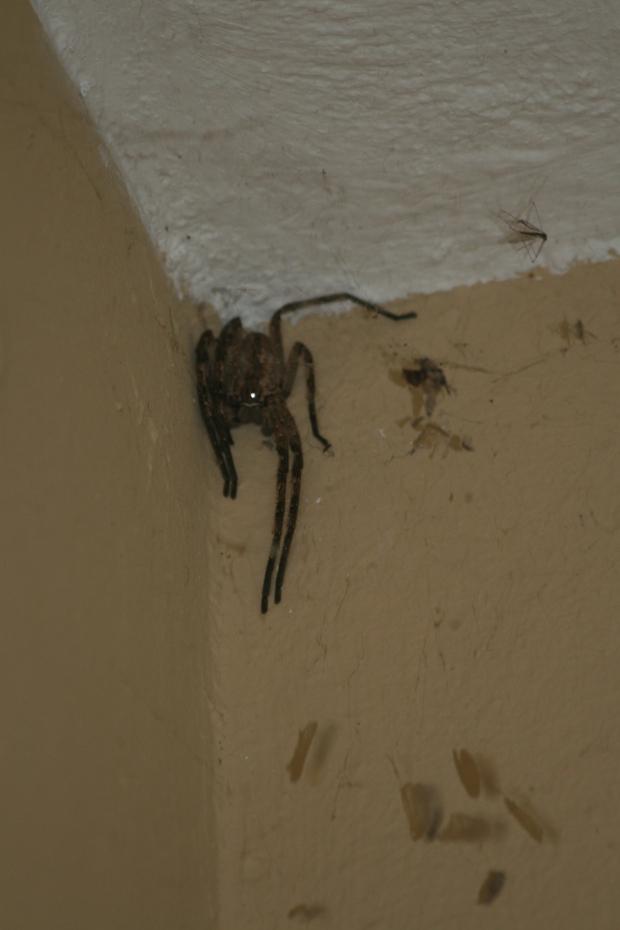 Rain spider South Africa.
