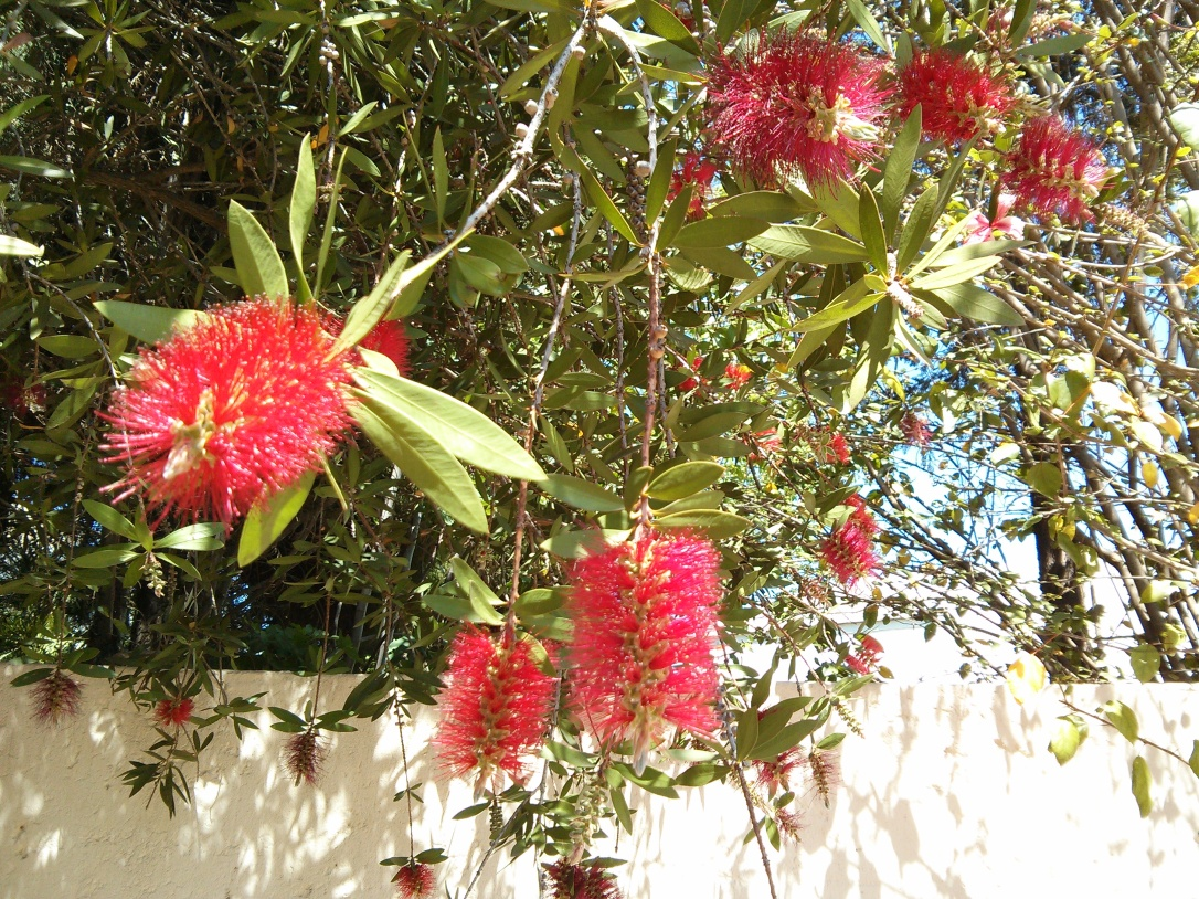 bottle brush bloom South Africa