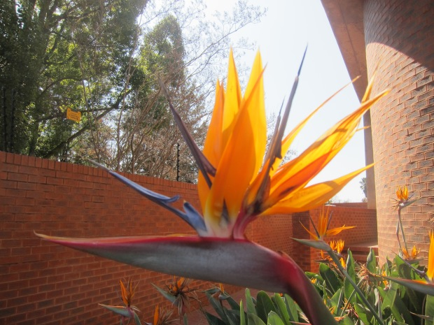 Bird of paradise flower, South Africa