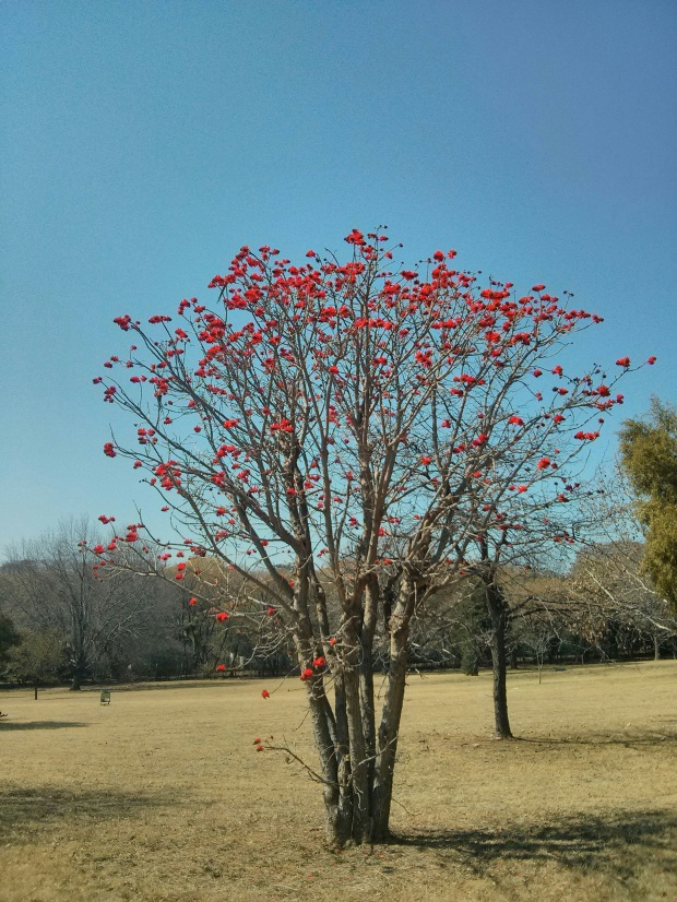 Coral Tree also known as Lucky Bean Tree or the Latin name is Erythrina lysistemon