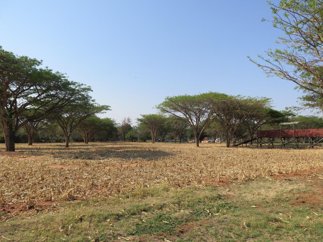 Waiting for the maize maze to grow. Honeydew, Johannesburg.