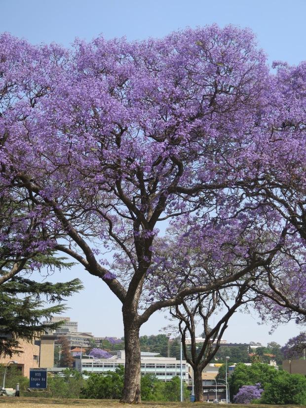 Jacaranda tree Johannesburg