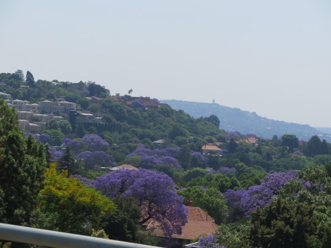 Purple Jacaranda trees in Johannesburg South Africa