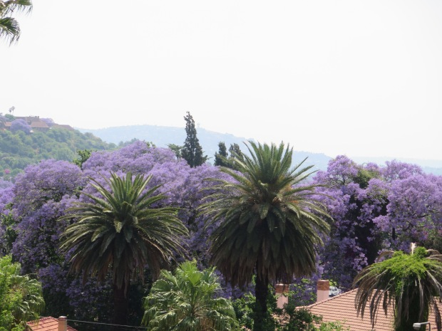 Jacaranda and palm trees