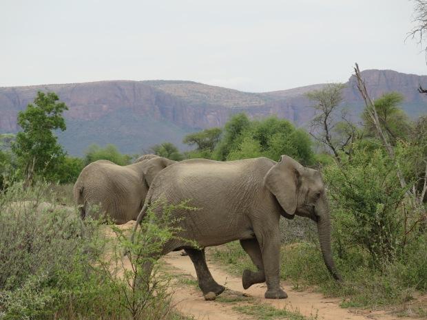 Tuskless elephant, Marataba.