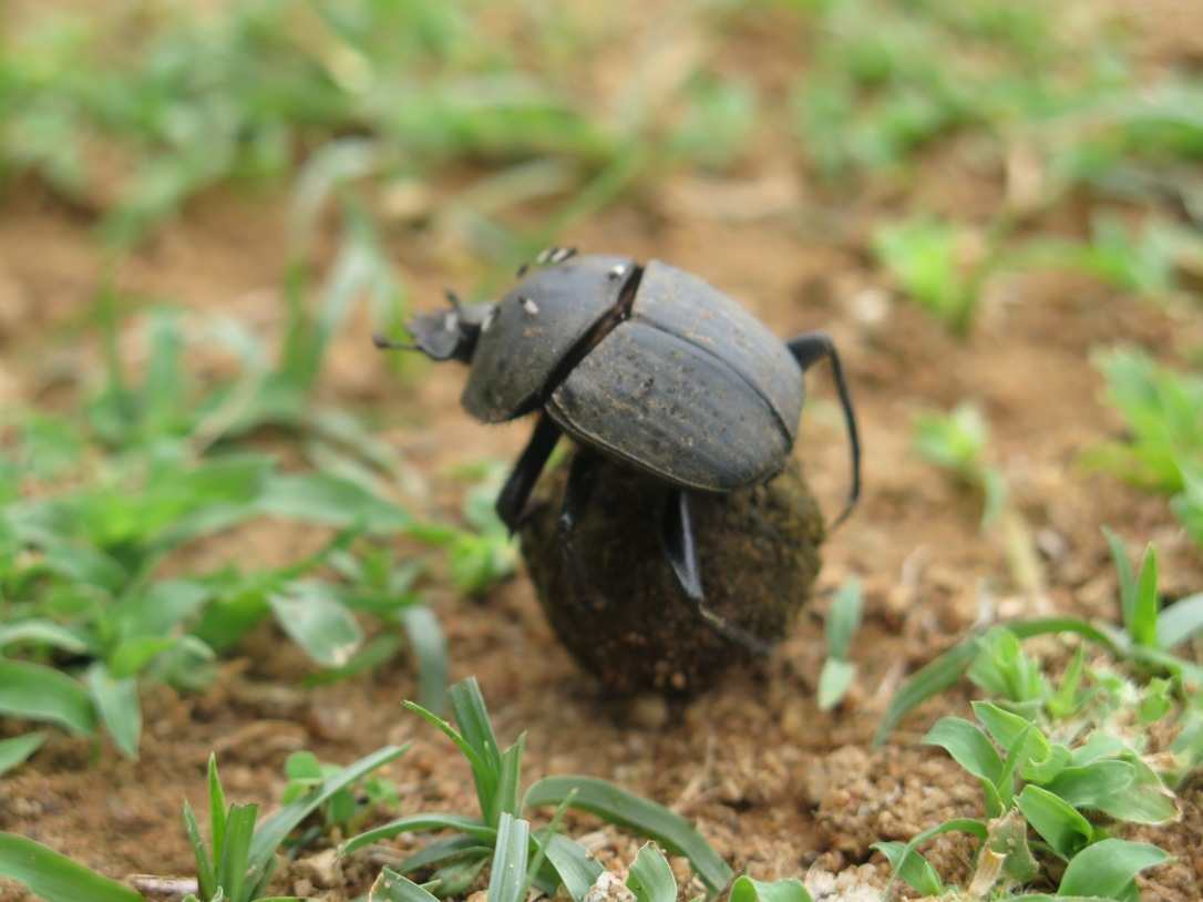 D is for Dung Beetle Expat A to Z