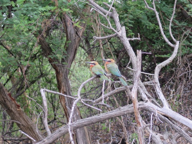 Two bee eater birds sitting on a branch in the South African bush.