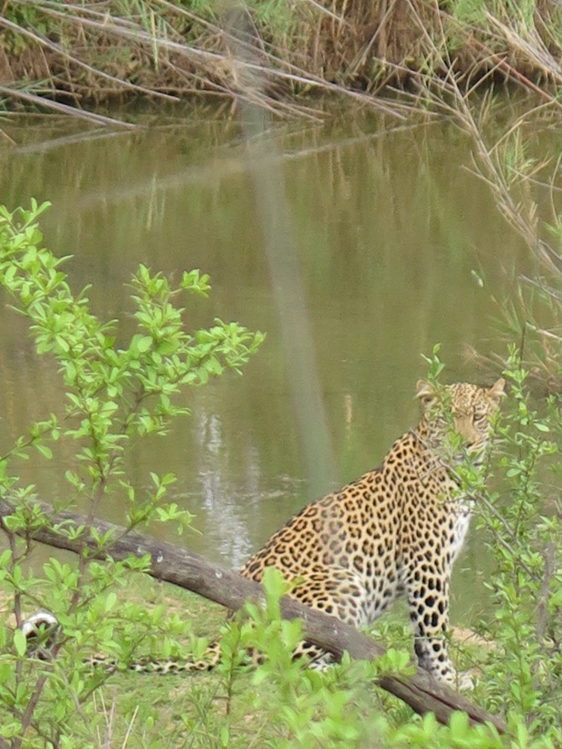 Female leopard by river in Marakele National Park.