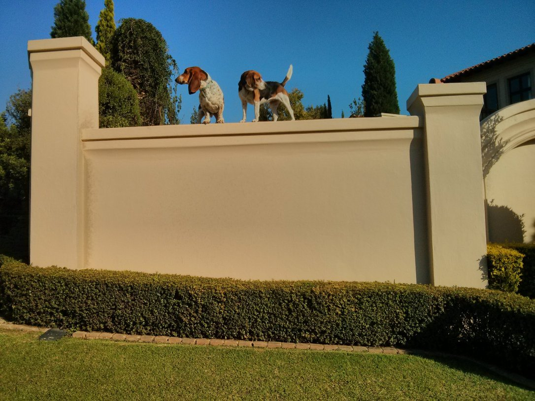 Two dogs standing on a high wall.