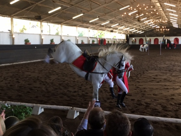 The South African Lipizzaners white horse kicking or bucking