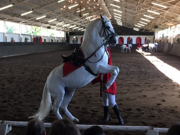 The South African Lipizzaners, Rearing horse at the Lippizaner show in Kylami, Johannesburg South Africa.