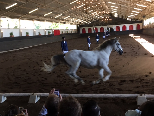 The South African Lipizzaners galloping horse, not completely white.