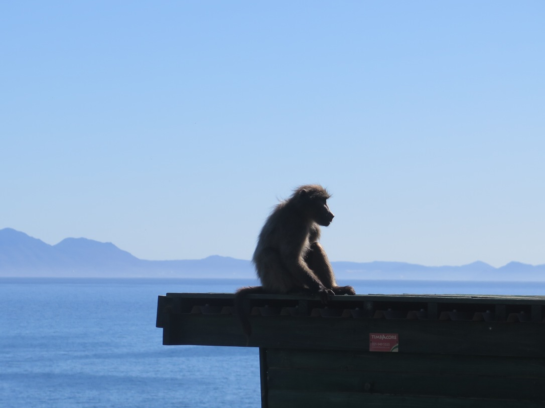 Baboon with sea and mountain backdrop near Hermanus, South Africa
