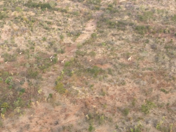 Air Safari - Taken from a helicopter there are tiny giraffes down below close to Victoria Falls in Zimbabwe.