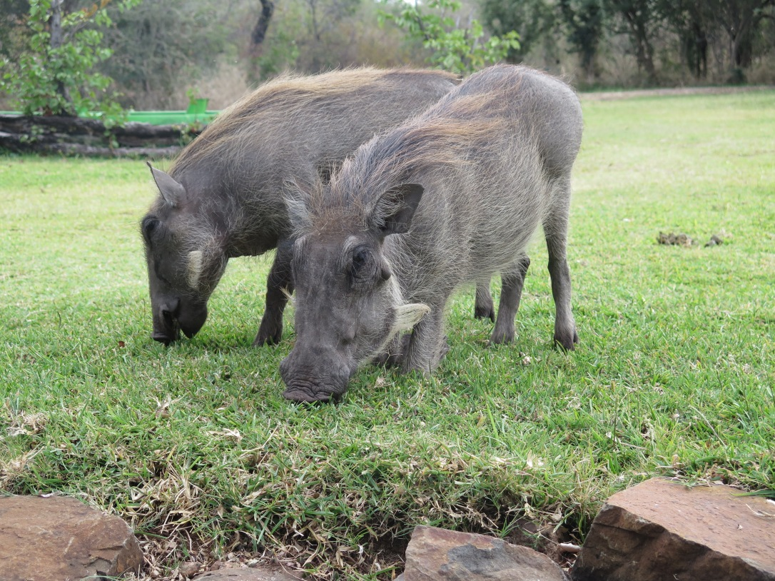 Two warthogs eating grass in Zimbabwe at the Victoria Falls Hotel.