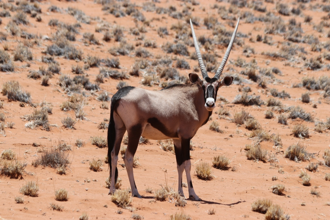 Oryx in Wolwedans Namibian desert.